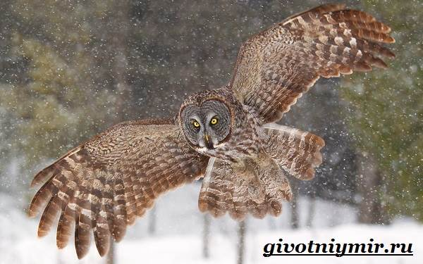 Неясыть-сова-Образ-жизни-и-среда-обитания-птицы-неясыть-14