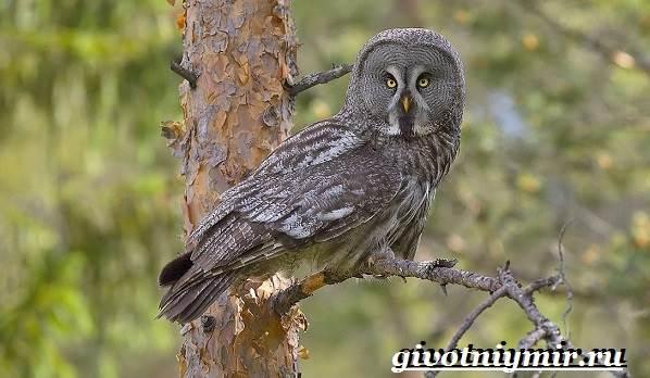 Неясыть-сова-Образ-жизни-и-среда-обитания-птицы-неясыть-2