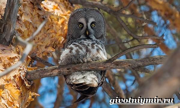 Неясыть-сова-Образ-жизни-и-среда-обитания-птицы-неясыть-3