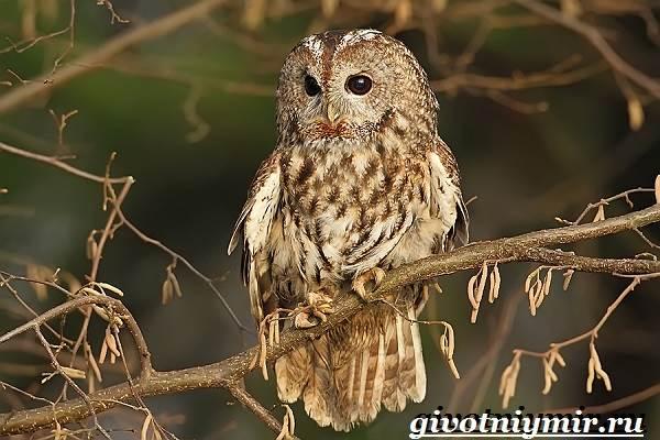 Неясыть-сова-Образ-жизни-и-среда-обитания-птицы-неясыть-4
