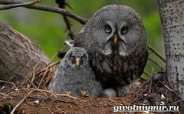 Неясыть-сова-Образ-жизни-и-среда-обитания-птицы-неясыть-7
