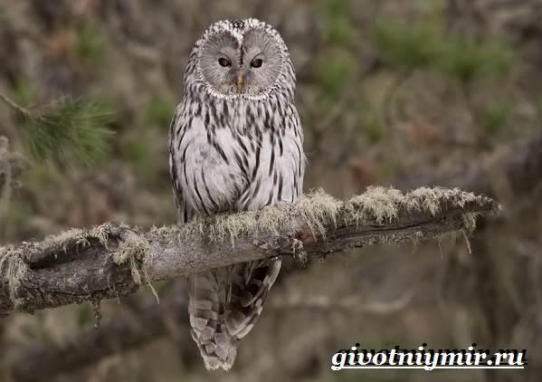 Неясыть-сова-Образ-жизни-и-среда-обитания-птицы-неясыть-8