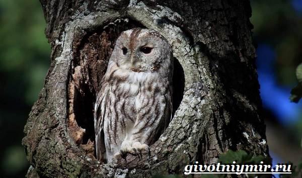 Неясыть-сова-Образ-жизни-и-среда-обитания-птицы-неясыть-9