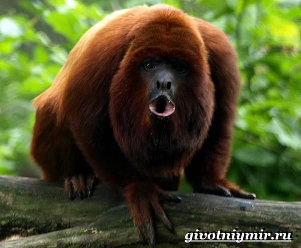 Обезьяна-ревун-Образ-жизни-и-среда-обитания-обезьяны-ревун-11