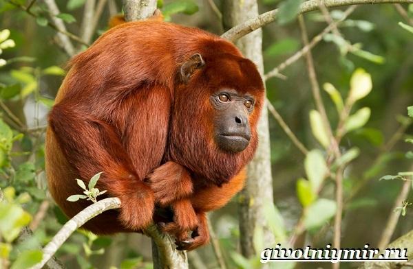 Обезьяна-ревун-Образ-жизни-и-среда-обитания-обезьяны-ревун-15-1