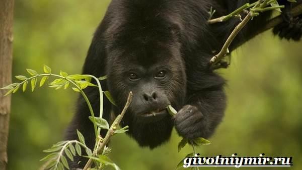Обезьяна-ревун-Образ-жизни-и-среда-обитания-обезьяны-ревун-15