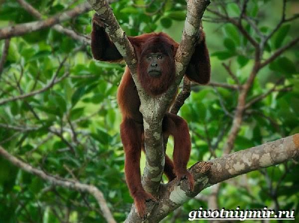 Обезьяна-ревун-Образ-жизни-и-среда-обитания-обезьяны-ревун-16
