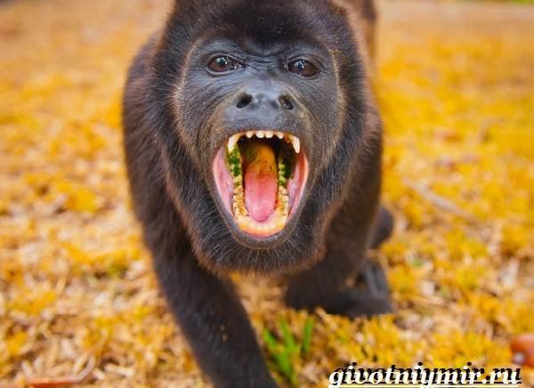 Обезьяна-ревун-Образ-жизни-и-среда-обитания-обезьяны-ревун-17
