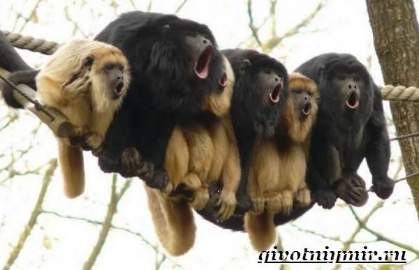 Обезьяна-ревун-Образ-жизни-и-среда-обитания-обезьяны-ревун-2