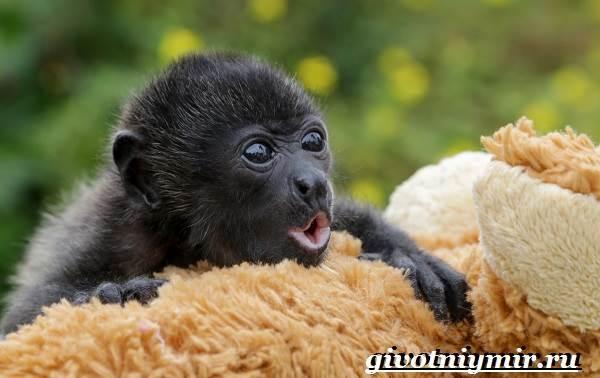 Обезьяна-ревун-Образ-жизни-и-среда-обитания-обезьяны-ревун-3