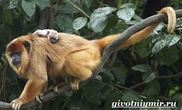 Обезьяна-ревун-Образ-жизни-и-среда-обитания-обезьяны-ревун-4
