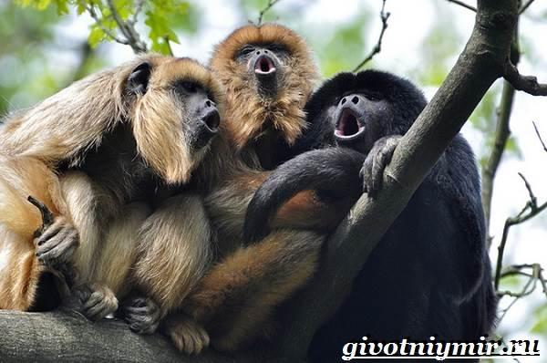 Обезьяна-ревун-Образ-жизни-и-среда-обитания-обезьяны-ревун-8