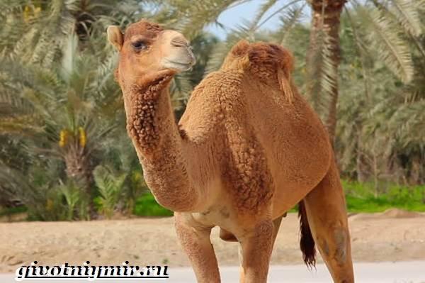 Одногорбый-верблюд-Образ-жизни-и-среда-обитания-одногорбого-верблюда-10