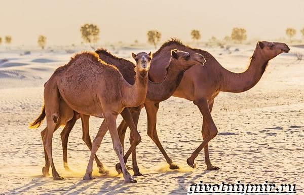 Одногорбый-верблюд-Образ-жизни-и-среда-обитания-одногорбого-верблюда-11