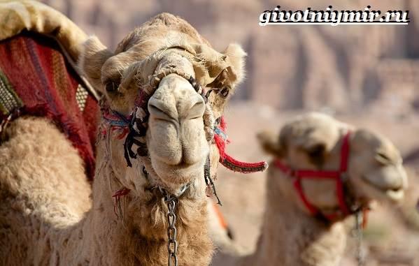 Одногорбый-верблюд-Образ-жизни-и-среда-обитания-одногорбого-верблюда-12