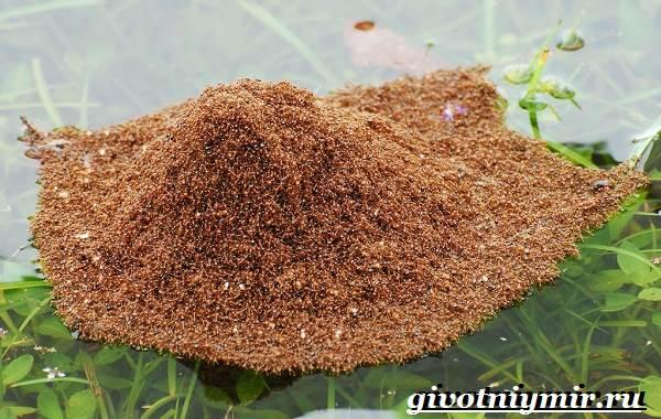 Огненные-муравьи-образ-жизни-и-среда-обитания-огненных-муравьёв-7