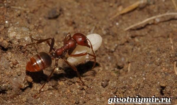 Огненные-муравьи-образ-жизни-и-среда-обитания-огненных-муравьёв-8