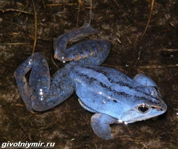 Остромордая-лягушка-Образ-жизни-и-среда-обитания-остромордой-лягушки-1