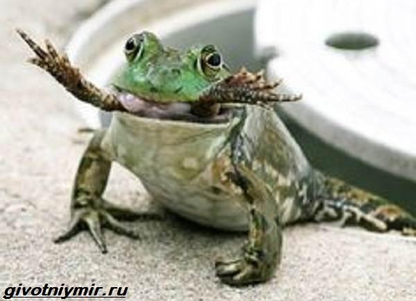 Остромордая-лягушка-Образ-жизни-и-среда-обитания-остромордой-лягушки-10