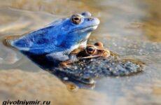 Остромордая лягушка. Образ жизни и среда обитания остромордой лягушки