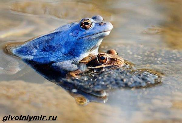 Остромордая-лягушка-Образ-жизни-и-среда-обитания-остромордой-лягушки-2