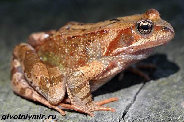 Остромордая-лягушка-Образ-жизни-и-среда-обитания-остромордой-лягушки-4