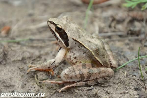 Остромордая-лягушка-Образ-жизни-и-среда-обитания-остромордой-лягушки-6