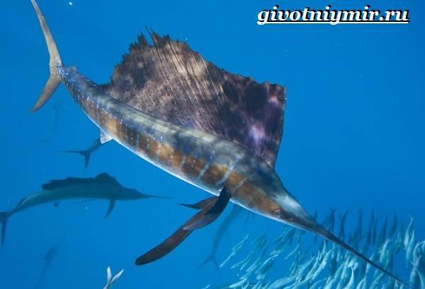 Парусник-рыба-Образ-жизни-и-среда-обитания-рыбы-парусник-1