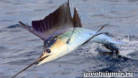 Парусник рыба. Образ жизни и среда обитания рыбы парусник