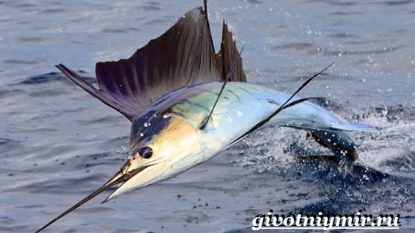 Парусник-рыба-Образ-жизни-и-среда-обитания-рыбы-парусник-2