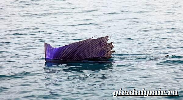 Парусник-рыба-Образ-жизни-и-среда-обитания-рыбы-парусник-3
