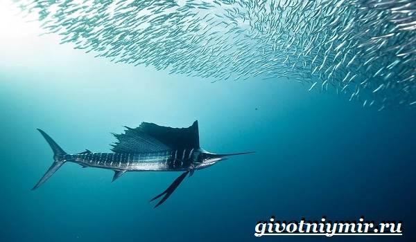 Парусник-рыба-Образ-жизни-и-среда-обитания-рыбы-парусник-5