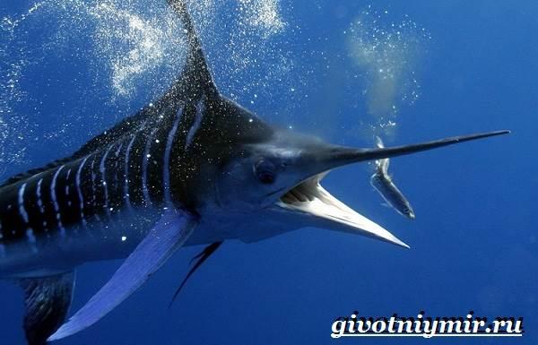 Парусник-рыба-Образ-жизни-и-среда-обитания-рыбы-парусник-6