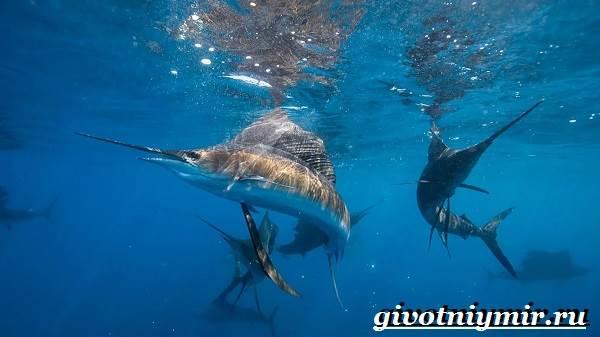 Парусник-рыба-Образ-жизни-и-среда-обитания-рыбы-парусник-7