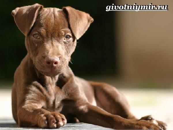 Паттердейл-собака-Описание-особенности-уход-и-цена-паттердейла-1