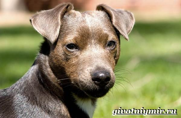 Паттердейл-собака-Описание-особенности-уход-и-цена-паттердейла-3
