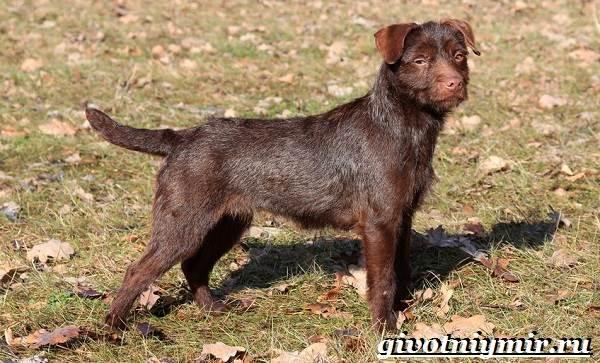 Паттердейл-собака-Описание-особенности-уход-и-цена-паттердейла-4