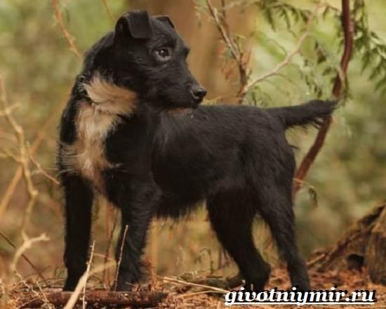 Паттердейл-собака-Описание-особенности-уход-и-цена-паттердейла-5