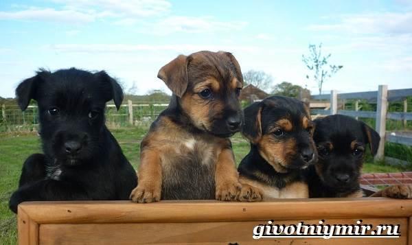 Паттердейл-собака-Описание-особенности-уход-и-цена-паттердейла-6