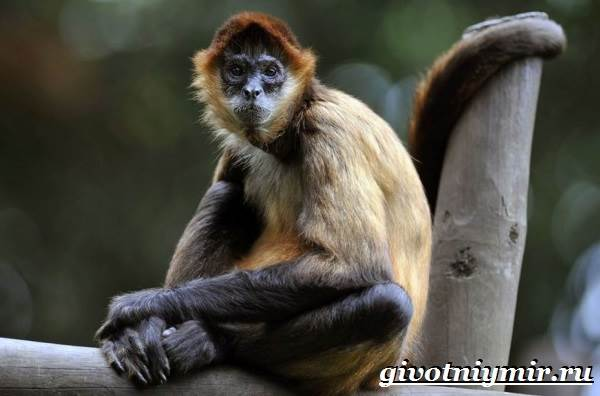 Паукообразная-обезьяна-Образ-жизни-и-среда-обитания-паукообразной-обезьяны-1
