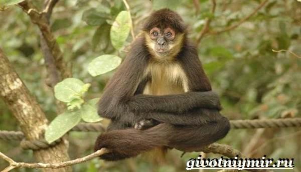 Паукообразная-обезьяна-Образ-жизни-и-среда-обитания-паукообразной-обезьяны-10