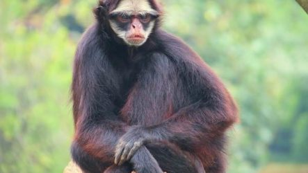 Паукообразная обезьяна. Образ жизни и среда обитания паукообразной обезьяны