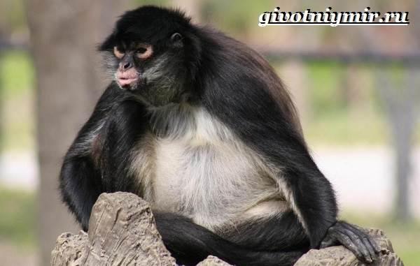 Паукообразная-обезьяна-Образ-жизни-и-среда-обитания-паукообразной-обезьяны-4