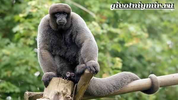 Паукообразная-обезьяна-Образ-жизни-и-среда-обитания-паукообразной-обезьяны-5