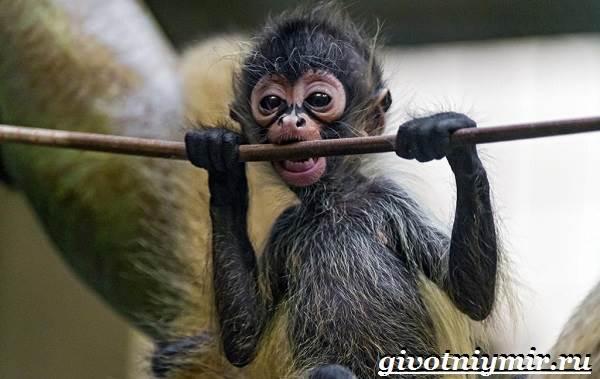 Паукообразная-обезьяна-Образ-жизни-и-среда-обитания-паукообразной-обезьяны-8