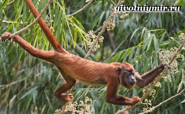 Паукообразная-обезьяна-Образ-жизни-и-среда-обитания-паукообразной-обезьяны-9
