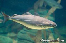 Пикша рыба. Образ жизни и среда обитания рыбы пикша