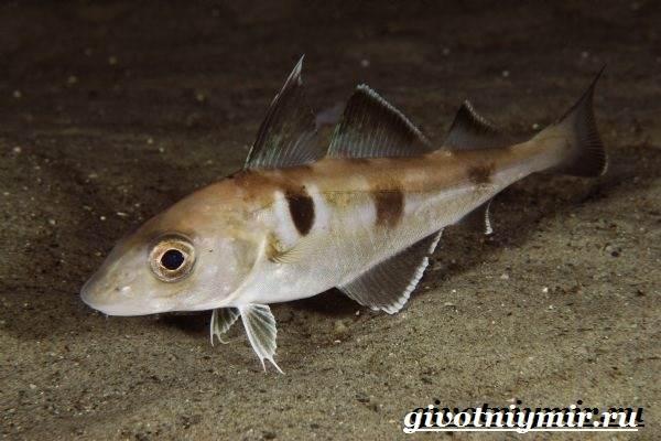 Пикша-рыба-Образ-жизни-и-среда-обитания-рыбы-пикша-2