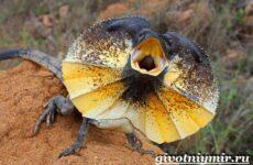 Плащеносная ящерица. Образ жизни и среда обитания плащеносной ящерицы