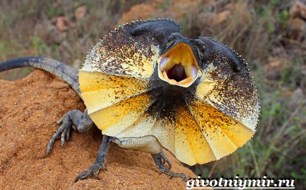 Плащеносная-ящерица-Образ-жизни-и-среда-обитания-плащеносной-ящерицы-1